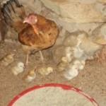 lf_chicken0003