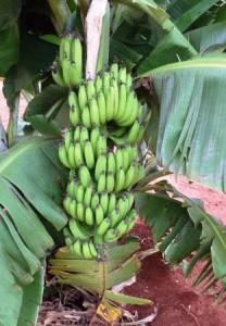 lf_bananas0004