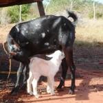 lf_goats0011